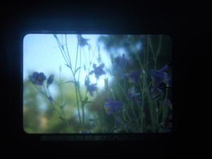 purple lilies or violets in front of a blurred out green background in soft bluish light, framed in a rounded black rectangle.