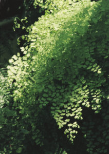 a large lacy and green bough with small leaves partially lit by sun in front of a dark green forest underbelly.
