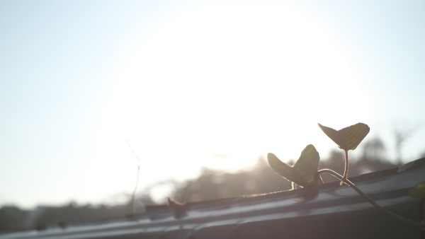 Morning Ivy