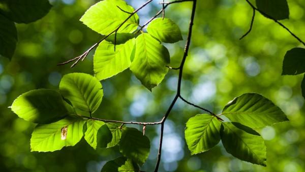 Sunlight on Beech leaves
