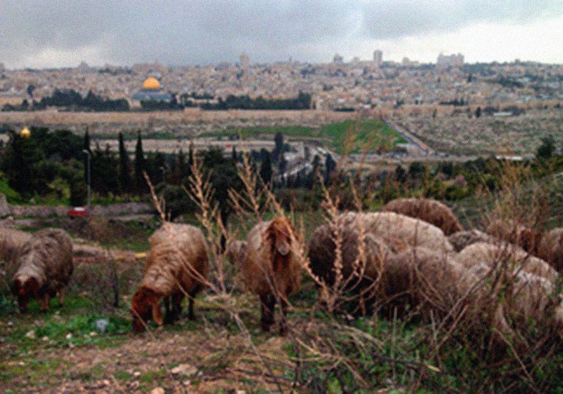 sheep jerusalem