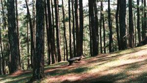 forest of straight pine trees full of light