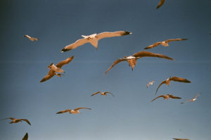 a group of seagulls flying across a blue sky, they are tinted yellow and gold from the afternoon sun