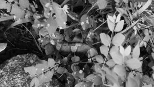 image looking down upon a cluster of small leafy branches with a copperhead snake body visible between some of the leaves.