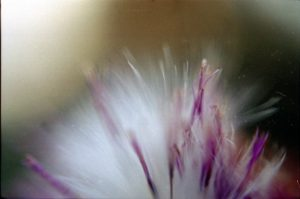 very close up image of a flower, white fuzz and purple tips